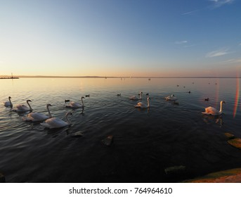 a flock of swans at the beach of lake Balaton