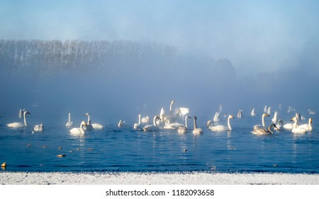 Flock of swans get rest on an ice-free lake in a winter fog. Waterfowls move on the smooth water against background of naked trees and blue sky. Swan Lake, Altai Territory, Siberia, Russia. January.