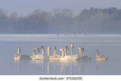 flock of swans in the hole  illuminated bright sun warm winter
