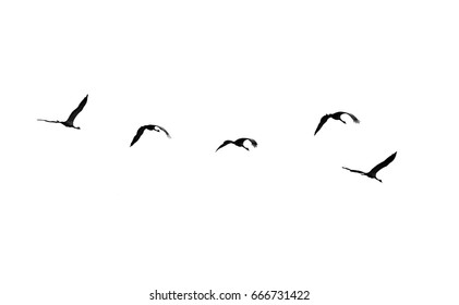 Flock of swans isolated on white background