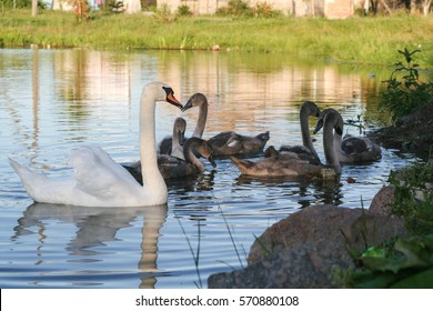 a flock of swans on the lake