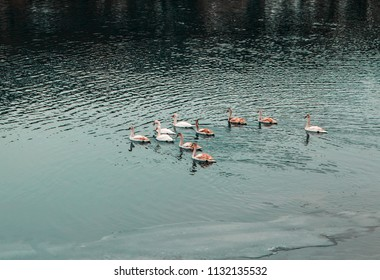flock of swans on the lake water