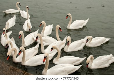 A flock of swans in river waters close to stone steps river banks