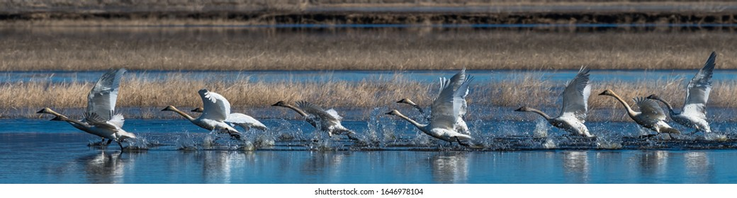 Flock of swans taking off from water in flight swan flying, Oregon, Merrill, Lower Klamath National Wildlife Refuge, Winter