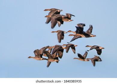 Flock of Taiga bean geese (Anser fabalis) in flight