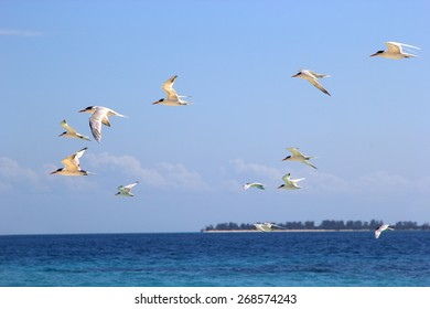 Flock of terns flying over the sea near the Tanzanian coast, east africa