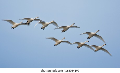 A flock of trumpeter swans flying against a blue sky background