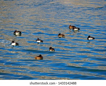 A flock of tufted duck, diving duck in black white with yellow eyes floating in green lake in Austria, Europe (Aythya fuligula)