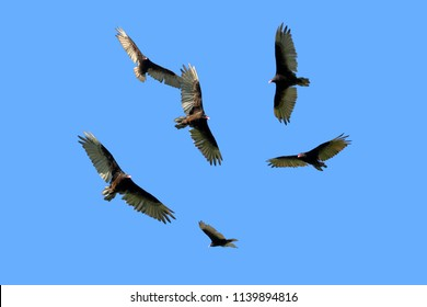 A flock of Turkey Vultures circle high above set against a deep blue summer sky.