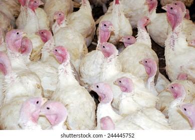 Flock of Turkeys in the farm ranch