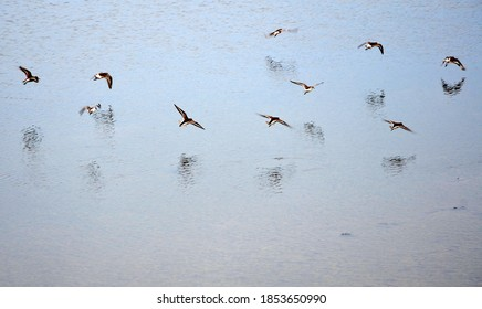 Flock of turtledoves flying over the water
