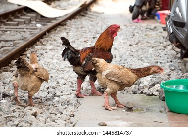 A flock of Vietnamese strong legs hens with a rooster is walking near the rails in downtown Hanoi, Vietnam.