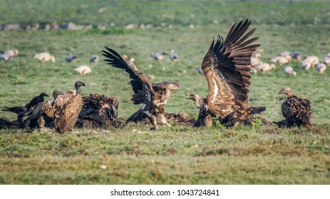 A flock of vultures, the two birds in action are Griffon vulture and the two birds at left side with slight black color head are Slender-billed vulture, which is Critically Endangered specie.