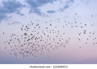 Flock of waders flying over the German Wadden Sea (Bar-tailed godwits, Grey Plovers, Dunlins)