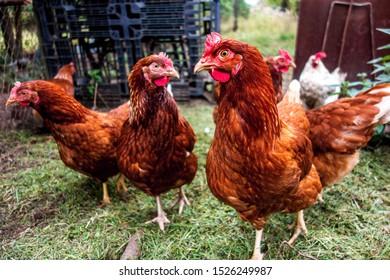 Flock of watching hens in backyard.