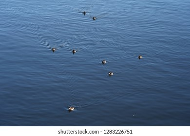 Flock of waterfowl