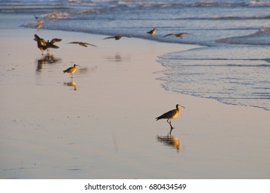 A flock of whimbrel shore birds by the waves at sunset.