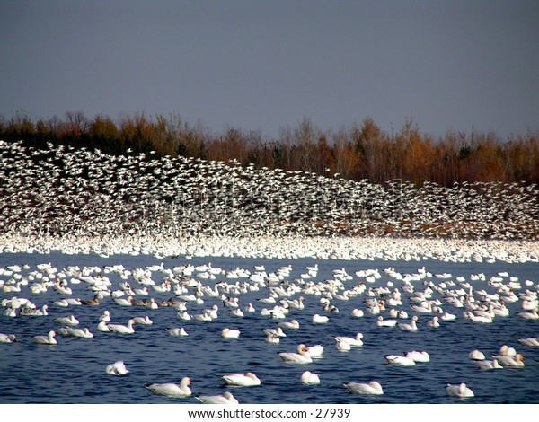flock of white geese taking off