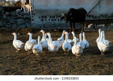 flock of white geese.ardahan/turkey