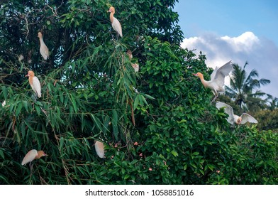 A flock of white herons on the tree in the village of Petulu, Bali, Indonesia