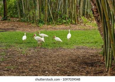 Flock of white ibis foraging for food in a natural tropical environment in Florida.