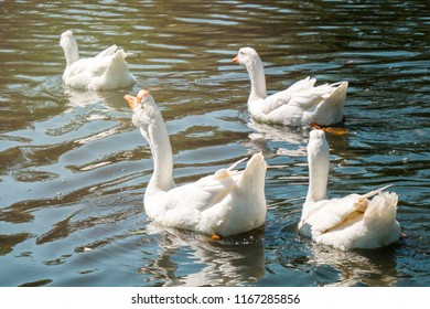 Flock of white male and female geese swimming in group in river on sunny summer day