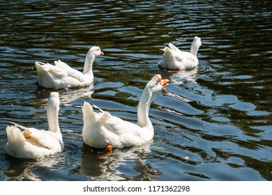 Flock of white male and female geese swimming away in river on summer day