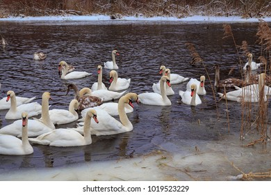 A flock of white mute swans on the winter river. Swans gather in flocks in the winter on open reservoirs. Belarus.