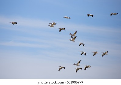 A flock of white pelicans (Onocrotalus Pelecanus) soaring in the sky above the Florida Everglades