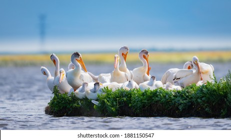Flock of White Pelicans resting on a island in a prairie lake during spring migration. Alberta, Canada