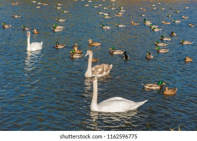 The flock of white swans and ducks on a beautiful pond. Charming autumn landscape.