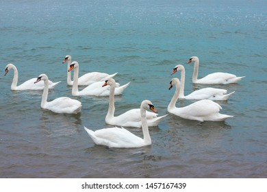 a flock of white swans swims in the sea