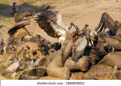 A flock of white-backed vulture (Gyps africanus) feeding on a large elephant by a river. Carrion scavengers on sandy river bank. Two vultures fighting for food sitting on an elephant skull.