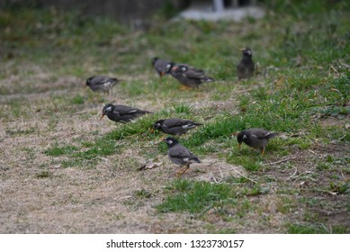 A flock of white-cheeked starlings.