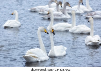 A flock of Whooper swan and ducks wintering on the thermal lake Svetloe (Lebedinoe), Altai Territory, Russia - Shutterstock ID 1846387303