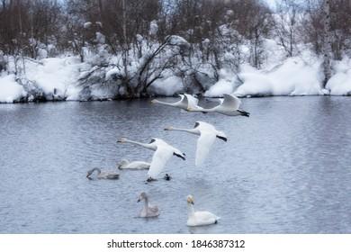 A flock of Whooper swan and ducks wintering on the thermal lake Svetloe (Lebedinoe), Altai Territory, Russia - Shutterstock ID 1846387312
