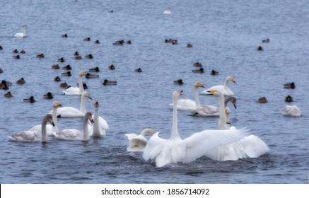 A flock of Whooper swan and ducks wintering on the thermal lake Svetloe (Lebedinoe), Altai Territory, Russia - Shutterstock ID 1856714092