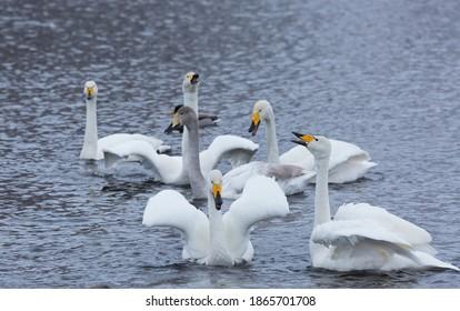 A flock of Whooper swan and ducks wintering on the thermal lake Svetloe (Lebedinoe), Altai Territory, Russia - Shutterstock ID 1865701708