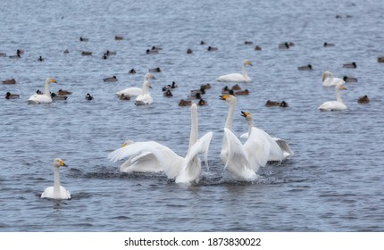 A flock of Whooper swan and ducks wintering on the thermal lake Svetloe (Lebedinoe), Altai Territory, Russia - Shutterstock ID 1873830022