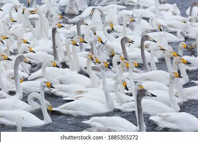 A flock of Whooper swan and ducks wintering on the thermal lake Svetloe (Lebedinoe), Altai Territory, Russia - Shutterstock ID 1885355272