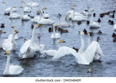 A flock of Whooper swan and ducks wintering on the thermal lake Svetloe (Lebedinoe), Altay, Russia - Shutterstock ID 1945548409