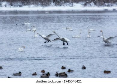 A flock of Whooper swan and ducks wintering on the thermal lake Svetloe (Lebedinoe), Altay, Russia - Shutterstock ID 1945548421