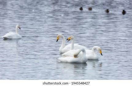 flock of Whooper swan and ducks wintering on the thermal lake Svetloe (Lebedinoe), Altay, Russia - Shutterstock ID 1945548427