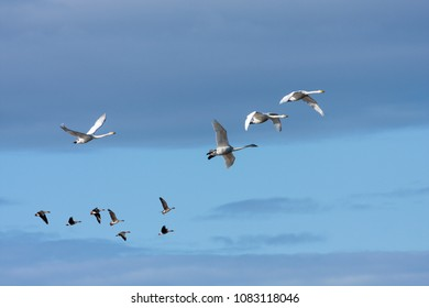 A flock of whooper swan during the migration. Morning and sunshine. Taiga bean goose in the background.