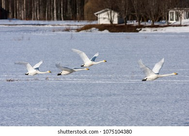 A flock of whooper swan in migration. Leaving a rest place. Heading north. Buildings in the background.