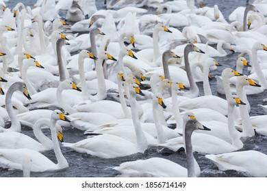 A flock of Whooper swan  wintering on the thermal lake Svetloe (Lebedinoe), Altai Territory, Russia - Shutterstock ID 1856714149