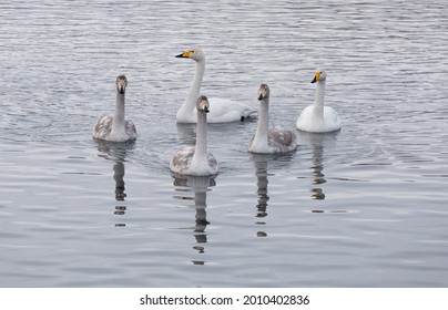 A flock of Whooper swan  wintering on the thermal lake Svetloe (Lebedinoe), Altai Territory, Russia - Shutterstock ID 2010402836