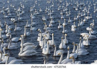 Flock of Whooper Swans