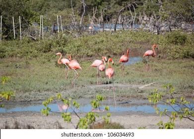 A flock of wild flamingos in Bonaire.