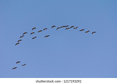 A flock of wild geese flying south